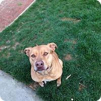 Adopt A Pet :: Bella, sweetie - Sacramento, CA