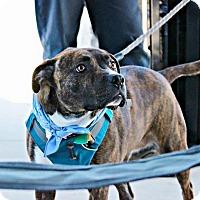 Adopt A Pet :: Jewels - San Antonio, TX