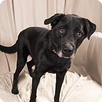 Adopt A Pet :: Roco Labmix - St. Louis, MO