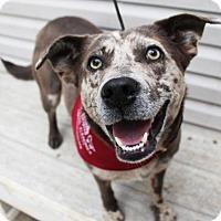 Adopt A Pet :: Callie - Washington, DC