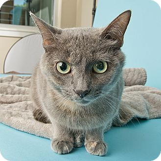 Domestic Shorthair Cat for adoption in Wilmington, Delaware - Mooch