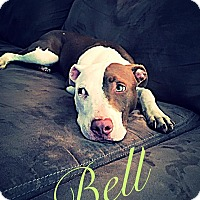 American Pit Bull Terrier Mix Puppy for adoption in Fayetteville, North Carolina - Belle