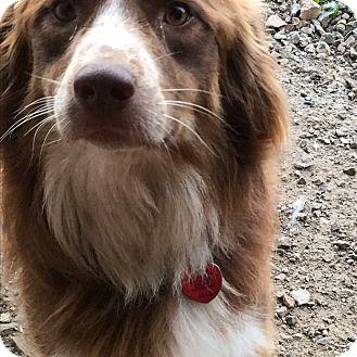 Australian Shepherd Mix Dog for adoption in Parker, Kansas - Ciggey