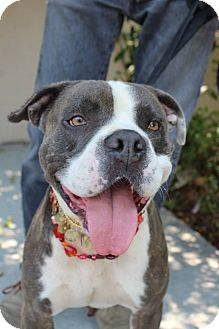 American Bulldog/Pit Bull Terrier Mix Dog for adoption in Beverly Hills, California - Mingo - Courtesy Post