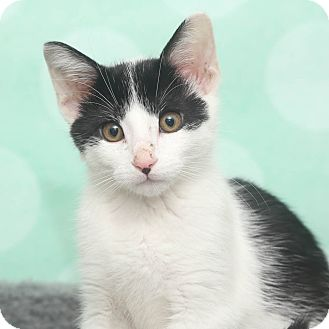 Domestic Shorthair Kitten for adoption in Chippewa Falls, Wisconsin - Sal