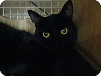 Domestic Mediumhair Cat for adoption in New york, New York - BLACKIE