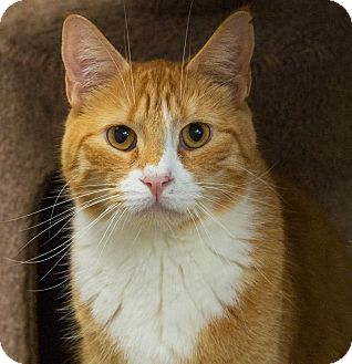 Domestic Shorthair Cat for adoption in Elmwood Park, New Jersey - Patrick