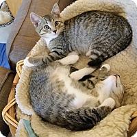 Adopt A Pet :: Cheetah - Gaithersburg, MD