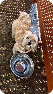 Shih Tzu/Maltese Mix Dog for adoption in Spartanburg, South Carolina - Heaven with Gizmo