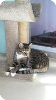 American Shorthair Cat for adoption in Englewood, Florida - Doc