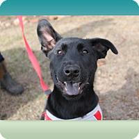 Shepherd (Unknown Type)/Chow Chow Mix Puppy for adoption in McDonough, Georgia - KJ