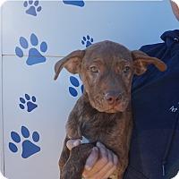 Adopt A Pet :: Callie - Oviedo, FL
