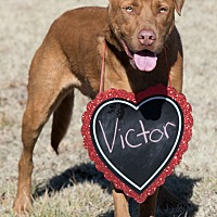 Adopt A Pet :: Victor - Broken Arrow, OK