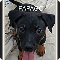 Adopt A Pet :: Papago - Tempe, AZ