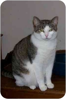 Domestic Shorthair Cat for adoption in Chattanooga, Tennessee - Josie