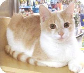 Domestic Shorthair Cat for adoption in Miami, Florida - Creamsicle