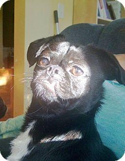 Pug/Pekingese Mix Puppy for adoption in bridgeport, Connecticut - Wilbur
