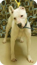 American Pit Bull Terrier Mix Dog for adoption in Gary, Indiana - Maliea