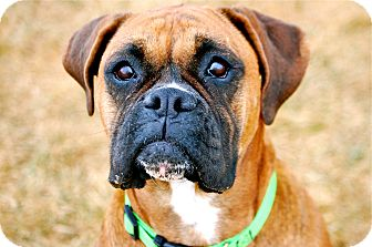 Boxer Mix Dog for adoption in Meridian, Idaho - Tanzi