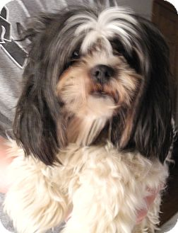 Shih Tzu Dog for adoption in Centerpoint, Indiana - Cord