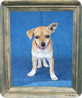 Chihuahua/Jack Russell Terrier Mix Puppy for adoption in Studio City, California - Malita