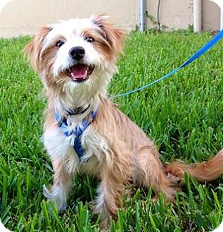 chinese crested terrier prince adopted puppy boca raton fl chinese crested 2874