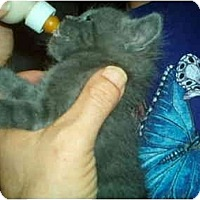 Adopt A Pet :: Tiny Kittens - Lake Charles, LA
