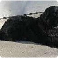 Adopt A Pet :: Bliss - Adoption Pending - Lee's Summit, MO
