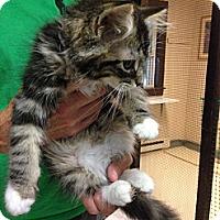 Adopt A Pet :: Kitkat - Lancaster, MA