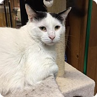 Domestic Shorthair Cat for adoption in Fairfax, Virginia - Jason