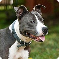 Adopt A Pet :: Socks - Greensboro, NC