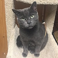Domestic Shorthair Cat for adoption in New City, New York - Mrs. Man aka Missy