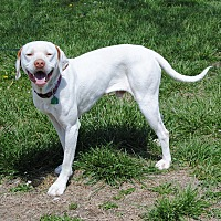 English Pointer Mix Dog for adoption in Parsons, Kansas - Casper