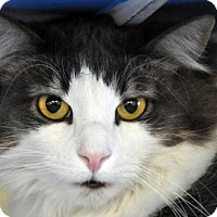 Adopt A Pet :: Duchess - Alexandria, VA