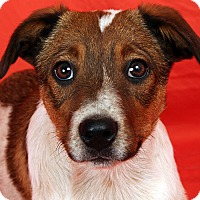 Adopt A Pet :: Virginia Heeler - St. Louis, MO
