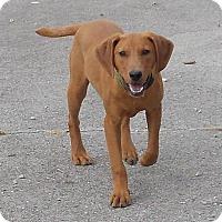 Adopt A Pet :: Chipper - Lewisburg, TN