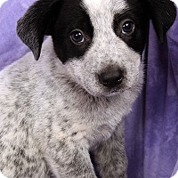 Adopt A Pet :: Patterson HeelerMix - St. Louis, MO