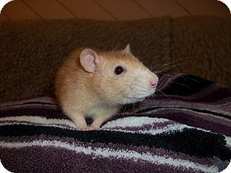 Rat for adoption in Welland, Ontario - Mielle