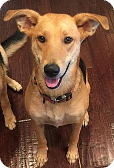 German Shepherd Dog/Great Pyrenees Mix Dog for adoption in Trenton, New Jersey - Stella