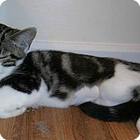 Domestic Shorthair Kitten for adoption in Cleveland, Ohio - Macchiato