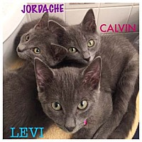 Adopt A Pet :: Levi - Merrifield, VA
