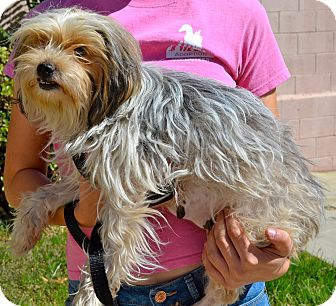 Silky Terrier Mix Dog for adoption in Simi Valley, California - Breezy