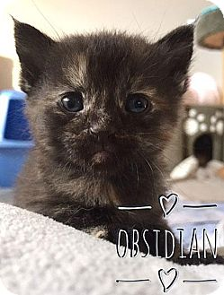 Domestic Shorthair Kitten for adoption in Fort Leavenworth, Kansas - Obsidian