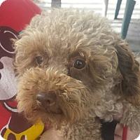 Adopt A Pet :: Winston- Poodle - Gaffney, SC