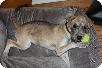 Wirehaired Fox Terrier Mix Puppy for adoption in Mt. Prospect, Illinois - Gemma