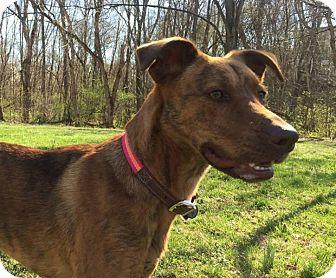 German Shepherd Dog/Vizsla Mix Dog for adoption in Staunton, Virginia - Sophie