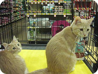 Domestic Shorthair Kitten for adoption in Overland Park, Kansas - Sylvie