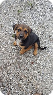 Black and Tan Coonhound/Labrador Retriever Mix Puppy for adoption in Huntsville, Tennessee - Sammy
