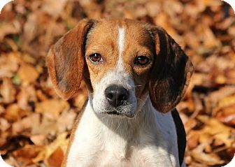 Beagle Mix Dog for adoption in Waldorf, Maryland - Snickers Webster