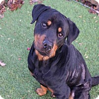 Rottweiler Dog for adoption in Atlanta, Georgia - OSBORNE